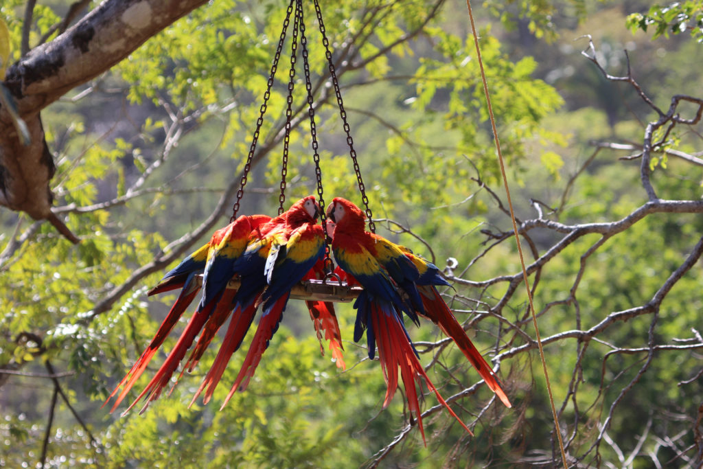 Released Scarlet Macaws enjoy supplementary feeding